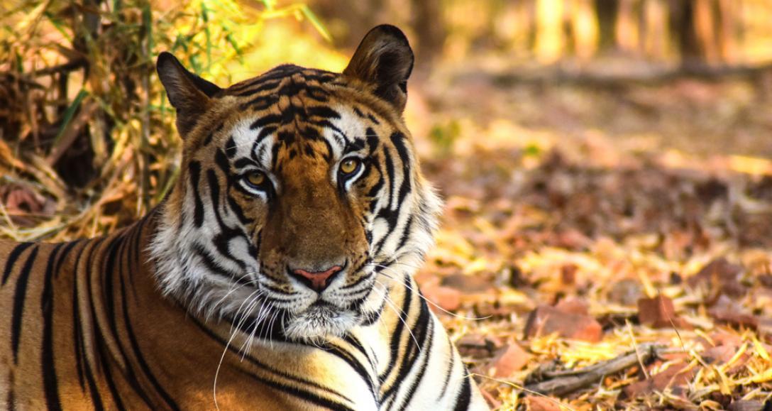 salva al tigre del trafico de especies