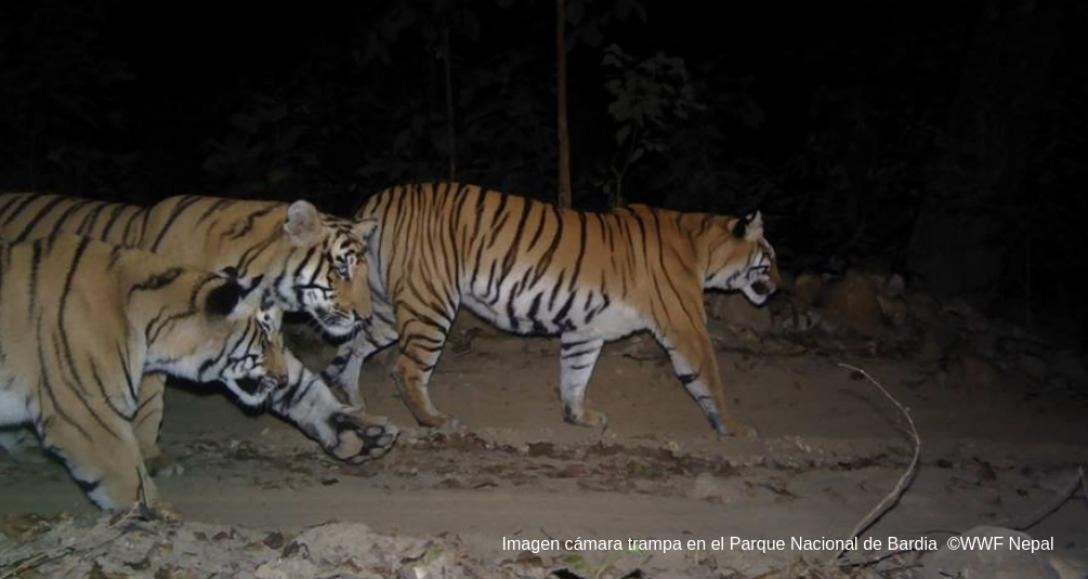 Nepal dobla el número de tigres salvajes