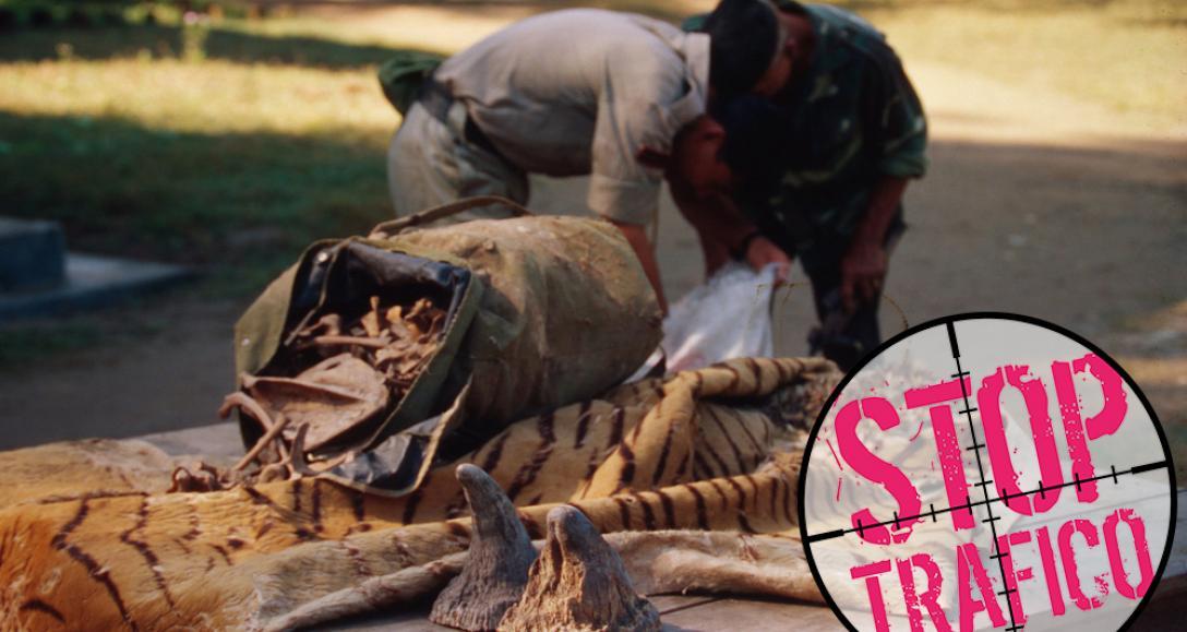 Tráfico de especies: Mitos que matan tigres