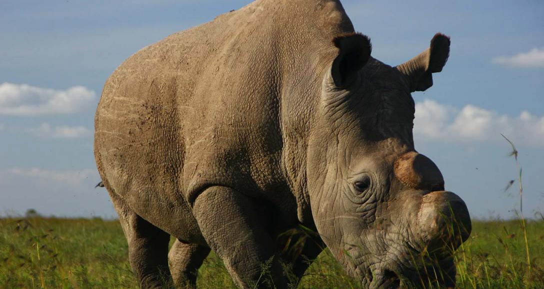 Sudán, el último rino macho de su especie