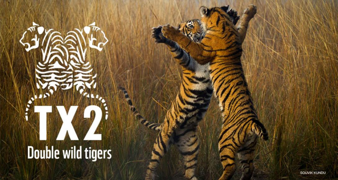 Duplicando el número de tigres en libertad