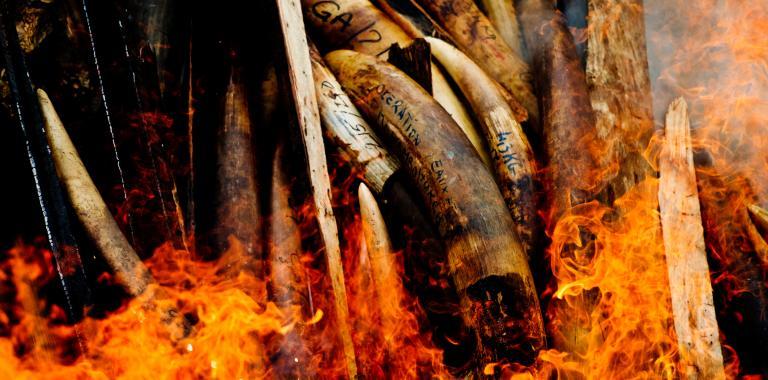 El comercio ilegal de marfil amenaza los elefantes